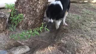 Super obsessed Border Collie digs up rock for hilarious reason - Video