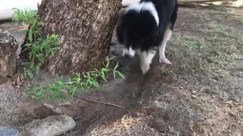 Super obsessed Border Collie digs up rock for hilarious reason