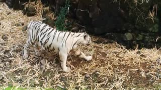 The beautiful white tiger - Video