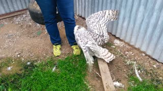 Snowy Owl Attacking Human Friends - Video