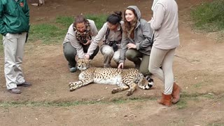 Group of girls give Cheetah some love - Video