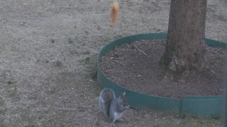 Squirrels love corn