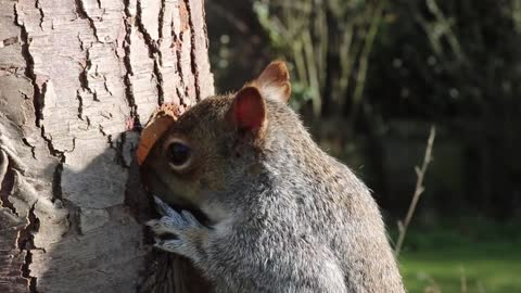 Watch and enjoy how squirrels get their food from a tree trunk. Fun too