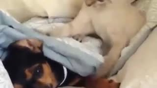 the dog is sleepy, and his cat play - Video