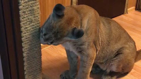 A well-bred Puma sharpens its claws on the scratching post