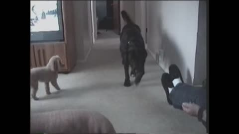 Poodle and Black Lab illustrate the power of teamwork
