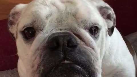 Small white bulldog stares growls at owner
