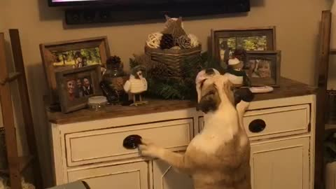 Bulldog barks at animated dogs on TV