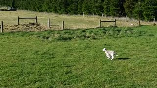 Sheep Sends Dog in Circles