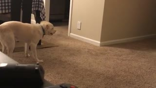 Dog runs around room super hyped red couch