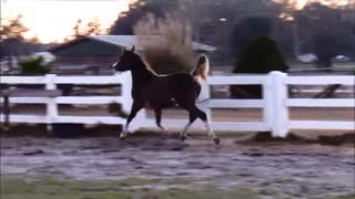 A Majestic Black Arabian Show Horse Manages to Trot in a Way That Looks Like She's Flying - Video