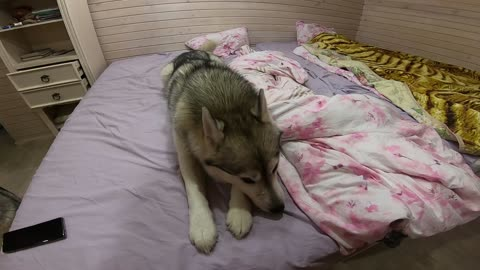 Very arrogant Husky, covered up on the bed and decided to spin like a tornado