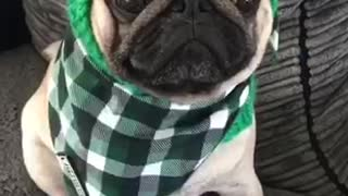 Adorable pug shows of his outfits