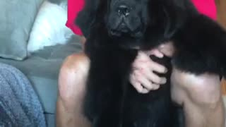Giant puppy hypnotized by belly scratch  - Video