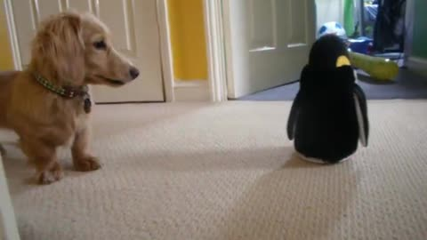 Dachshund has mind blown by toy penguin