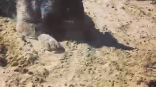 Black dog playing with blue ball at beach in the sand - Video