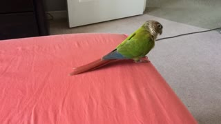 My conure gets excited about vacuuming