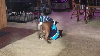 Rowdy Boston Terrier Puppy Wrestling