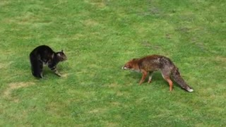 Cat vs Fox Fight  - Video