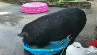 Portly Pig, Tiny Pool - Video