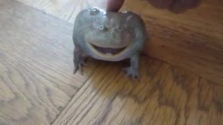 Great voice budget frog Screaming Budgetts Frog