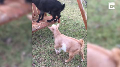 Curious Goat Gets Too Excited For Climbing On A Swing