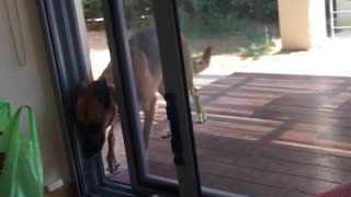 Dog opens sliding door with face - Video