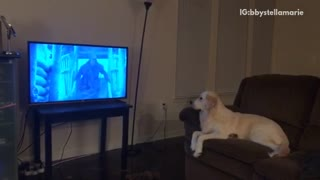 Golden retriever sits on brown couch watches game of thrones