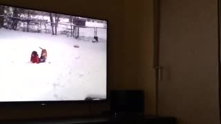 Black dog watching dogs on tv - Video