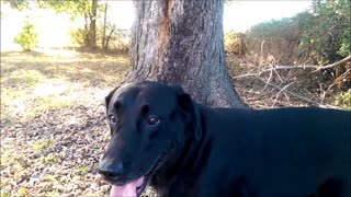 Black Lab playing in the yard - Video