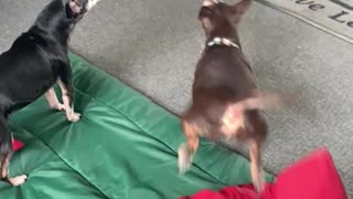 Dog goes crazy watching squirrel on YouTube