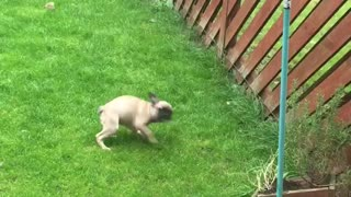 Frenchie tries to befriend cat by spinning in circles