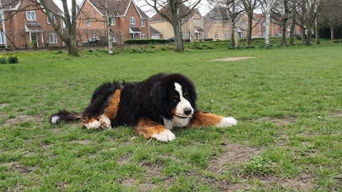 Huge Bernese Mountain Dog relaxing in the park