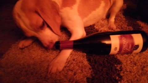 Cute dog licking bottle of wine