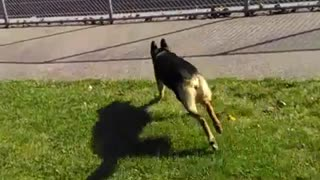 German shepard chases squirrel after it jumps off fence