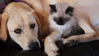 Kitten and puppy preciously snuggle together - Video