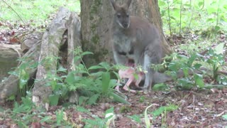 Albino Wallaby Joey Struggling to Climb into Mother's Pouch - Video
