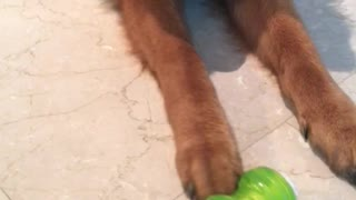 Puppy refuses to play with its new toy!  - Video