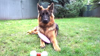 German Shepherd Puppy Is Extremely Picky With His Toys - Video