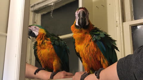 Macaw thoroughly entertained by his mirror reflection