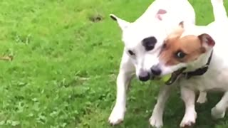 Dogs play fetch together