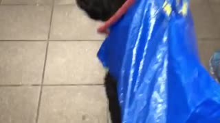 Black dog in blue ikea bag walking down stairs