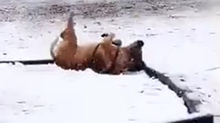 Brown dog rolling in snow playground - Video