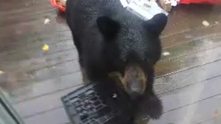 Brown Bear Caught Stealing Food - Video