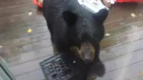 Brown Bear Caught Stealing Food