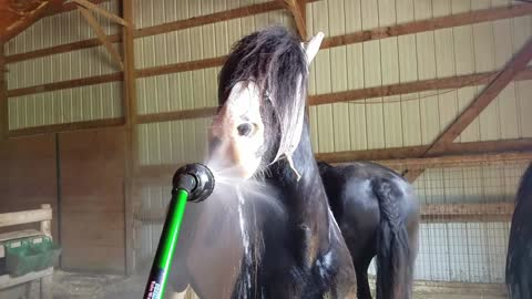 Funny horse uses hose as a Waterpik