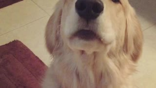 Retriever's Unique Begging Style - Video