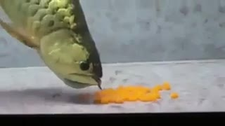 Golden Arowana laying eggs  - Video