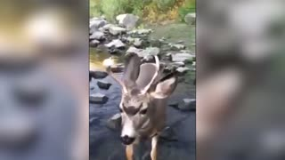 Friendly Hiker Finds A Deer With A Donut On His Antler - Video