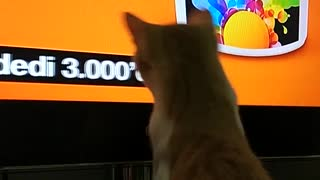 Orange cat watching tv tries to catch subtitles - Video